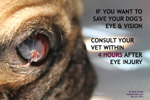 pug 7 months, injuries serious, deep central ulcerative keratitis, leakage aqueous toapayohvets singapore