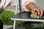 syrian hamster, female, 20months, soft nodular tumour below pharynx, surgical excision zoletil 100  toapayohvets
