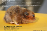 older syrian hamster large cystic mixed tumour below neck risky anaesthesia and surgery toapayohvets