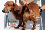 old dachshund fast growing large soft tumour. lipoma or liposarcoma. Best to get it excised. toapayohvets.com singapore