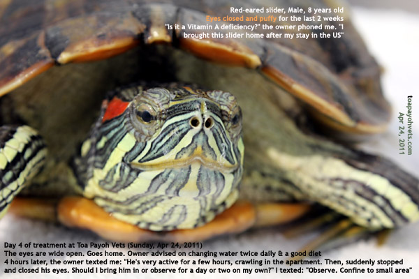 Red Eared Slider Puffy Eyes Red Eared Slider Eyes