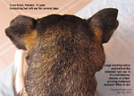 haematoma-abscess-tumour-behind-below-right-ear-scratching-otitis-externa-old-dog-singapore
