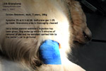 golden retriever, male, 5 years, ventral elbow lick granuloma plaque, toapayohvets, singapore